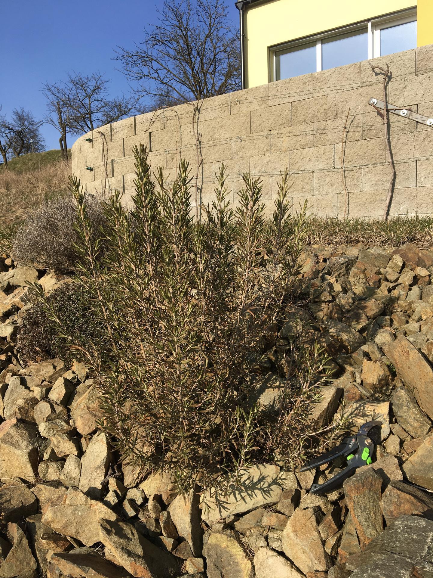 Skřítčí zahrada 2021 - Březen 2021 - rozmarýny zimu opět přežily