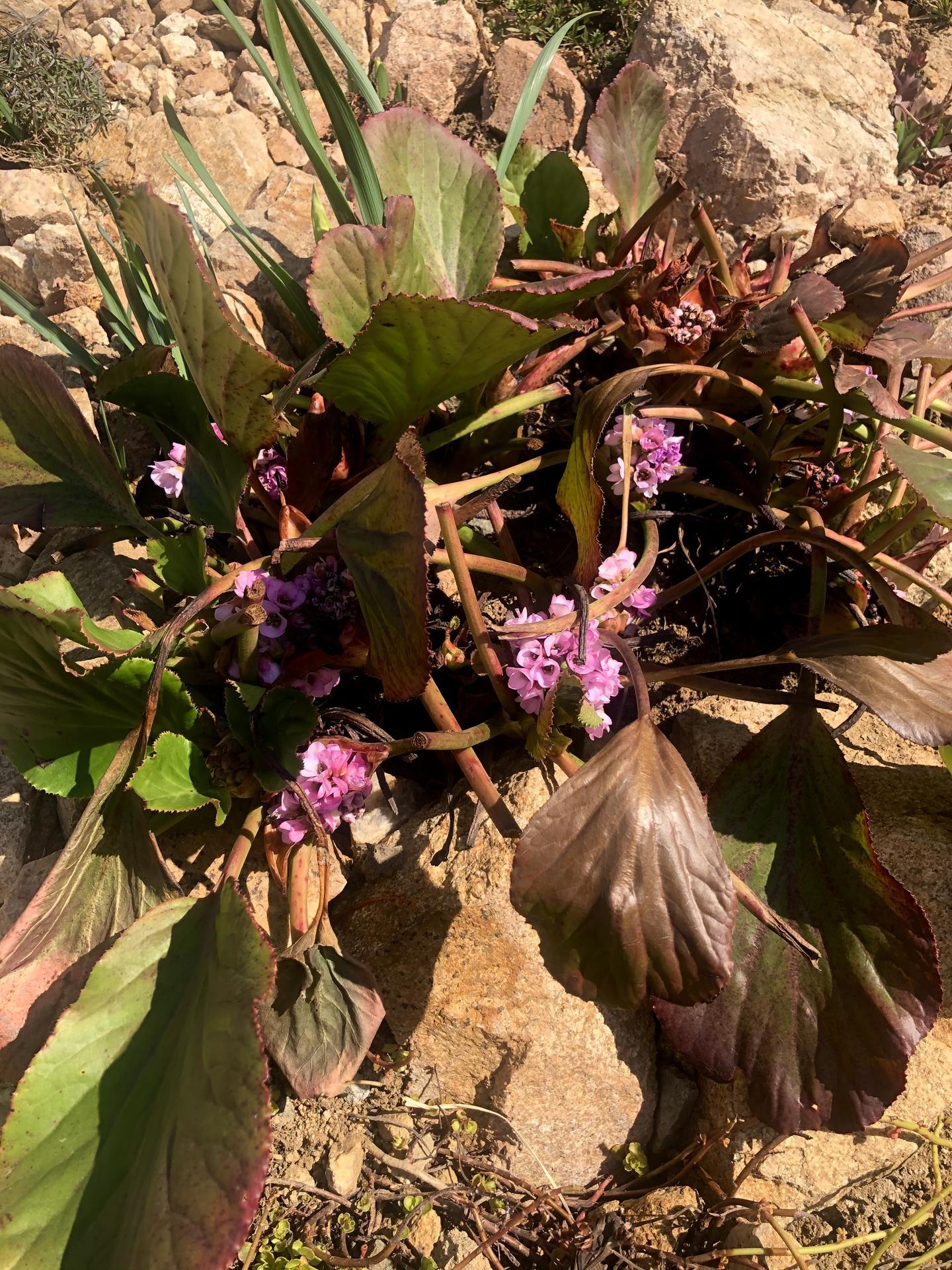 Skřítčí zahrada 2021 - Březen 2021 - kvetoucí bergénie