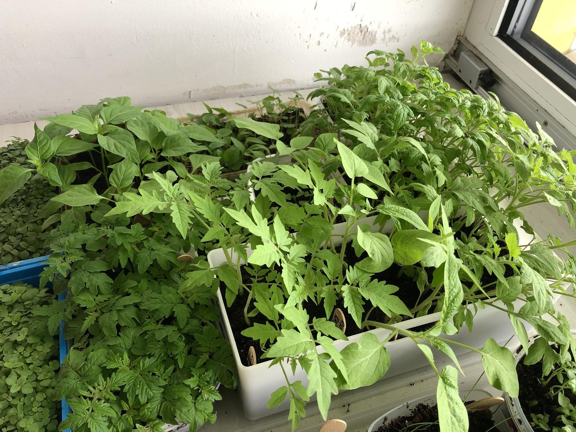 Skřítčí zahrada 2021 - Duben 2021 - letos se sazenicím rajčat a paprik daří (loni z nich nebylo vůbec nic)