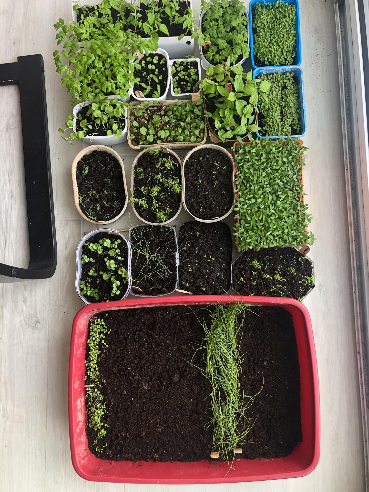 Skřítčí zahrada 2021 - Duben 2021 - letos předpěstovávám kromě zeleniny (a to budu zkoušet víc druhů jak loni) i květiny (trvalky a samovysévající se letničky)