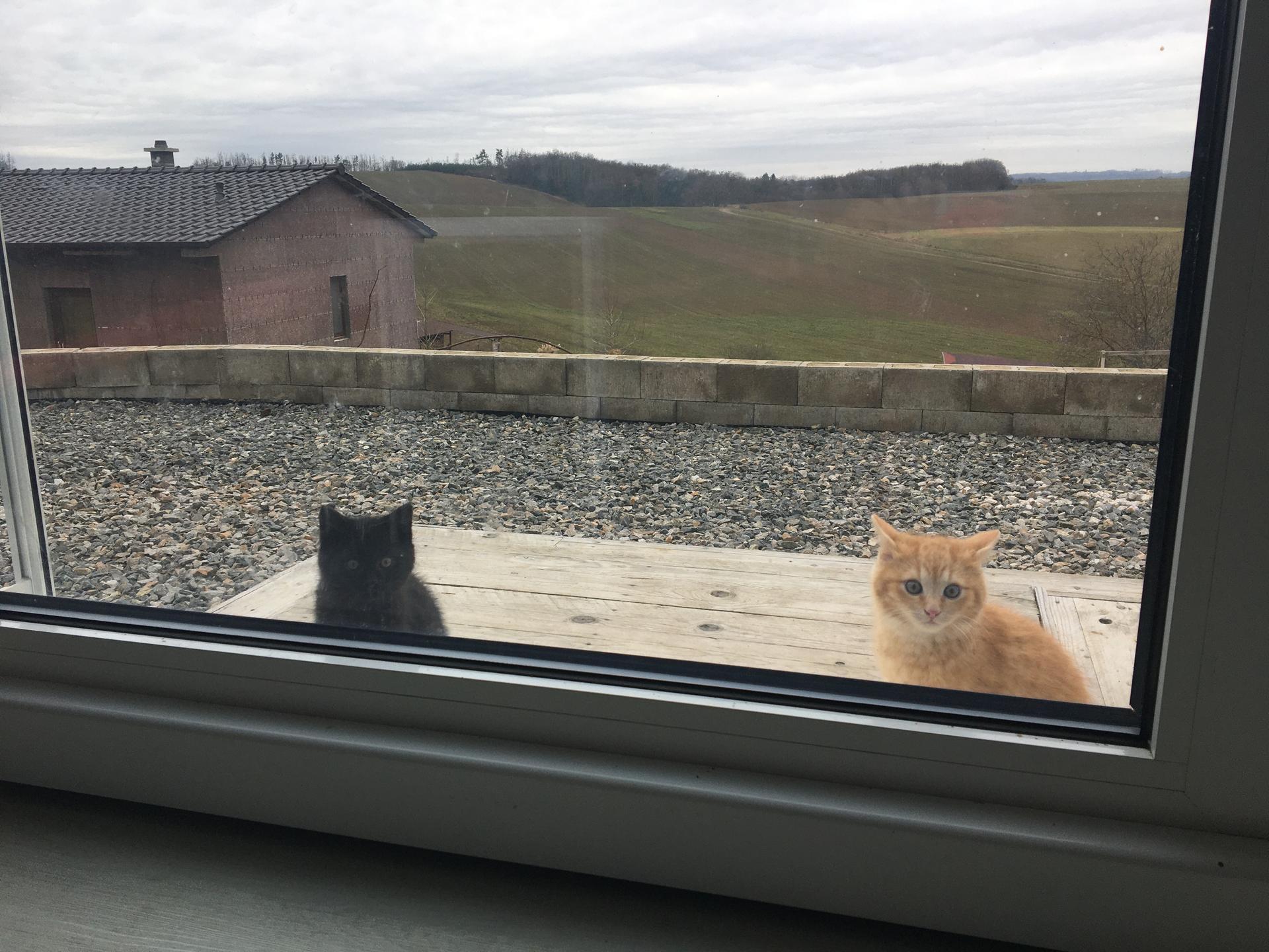 Skřítčí zahrada 2015 - 2020 - Prosinec 2020 - kocourci (Sirius Black a Tygřík) nezapřou druh kočka domácí