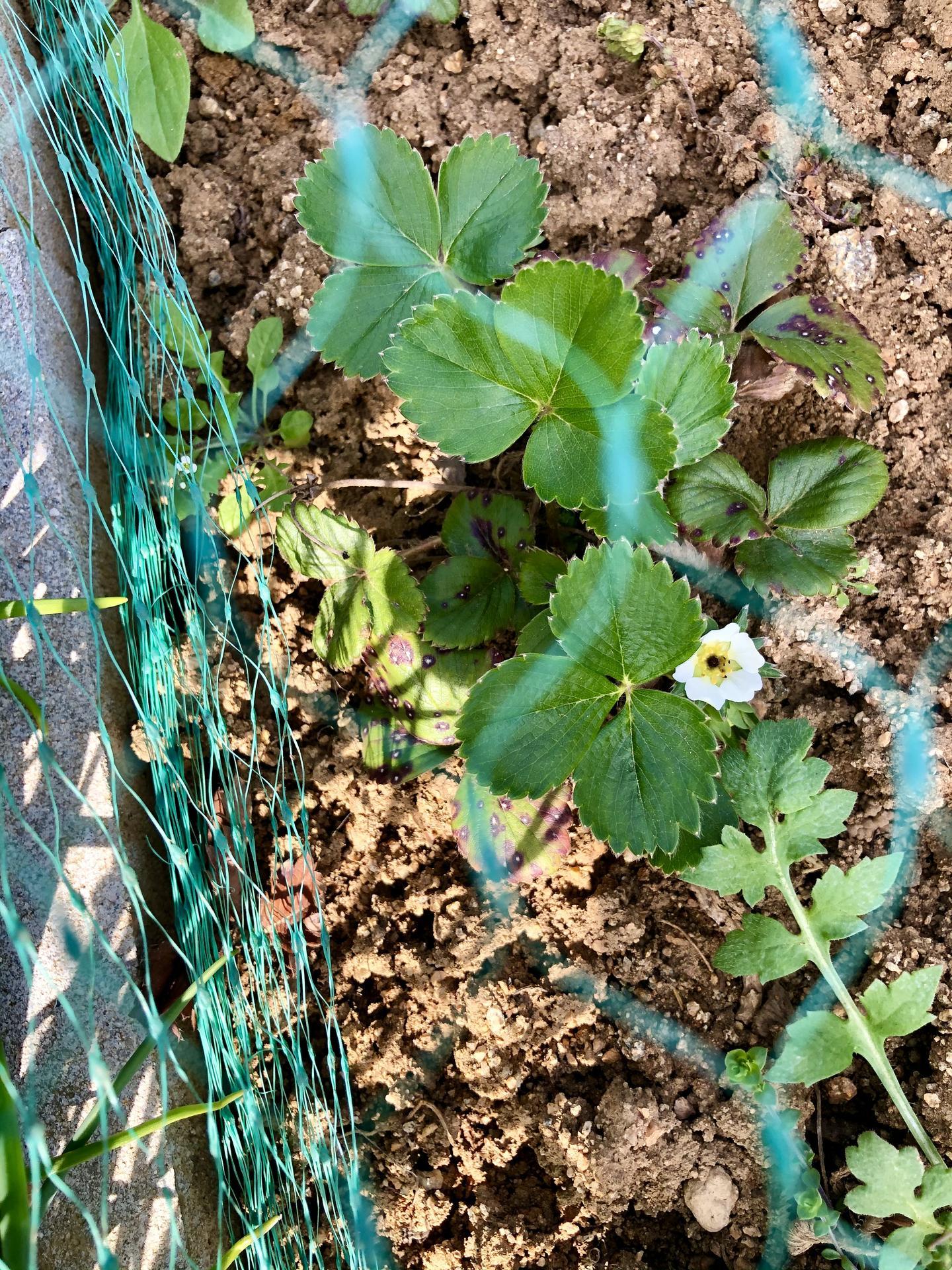Skřítčí zahrada 2021 - Duben 2021 - začínají kvést jahody