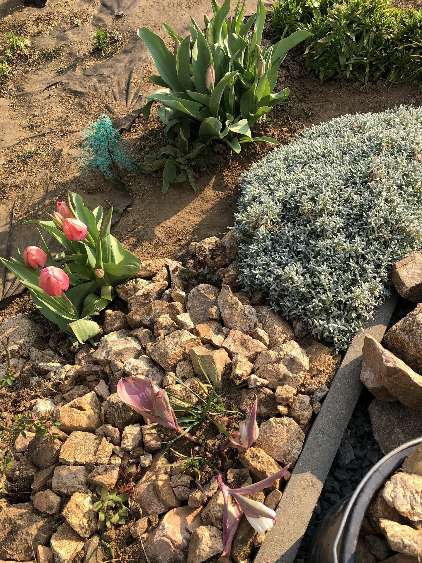 Skřítčí zahrada 2021 - Duben 2021 - letos konečně vidím tyhle tulipány kvést, srnky mi je zatím neožraly