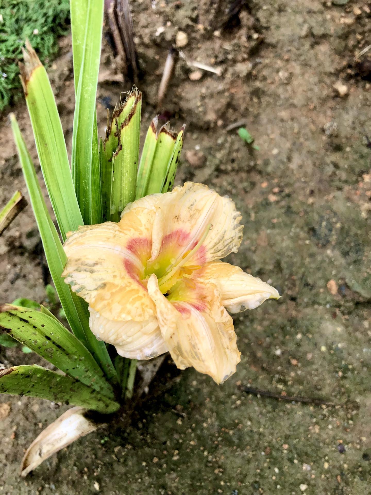 Skřítčí zahrada 2021 - Červenec 2021 - další květ denivky, trochu poničený ostřejším deštěm