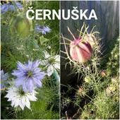 Černuška ( Nigella damascena ),