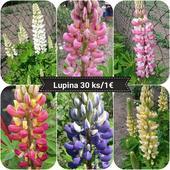 LUPINUS,