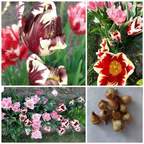 Tulipány - Obrázok č. 1