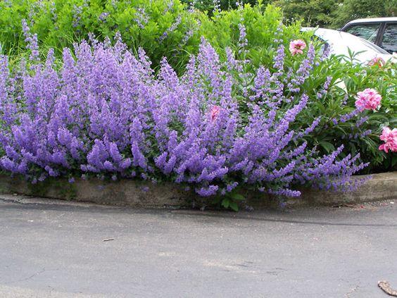 Zahrada - inspirace - šanta (pravděpodobně kultivar Six Hills Giant)