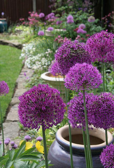 Zahrada - inspirace - okrasný česnek