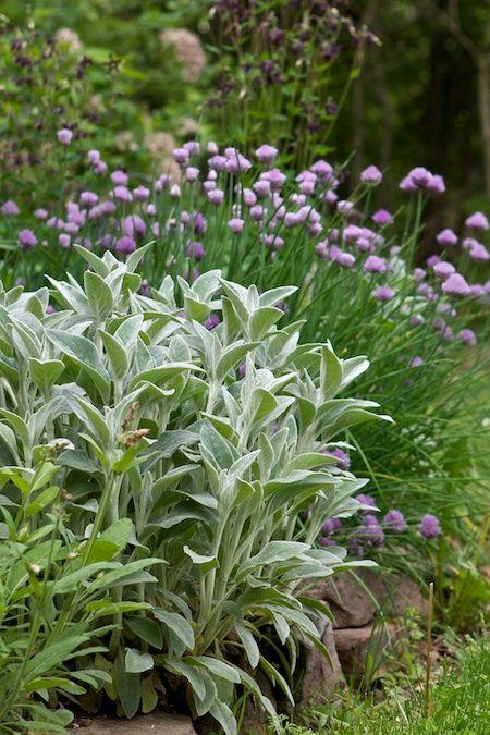 Zahrada - inspirace - a zase čistec ... v pozadí, ty fialové kuličky, hádám, bude pažitka :-)