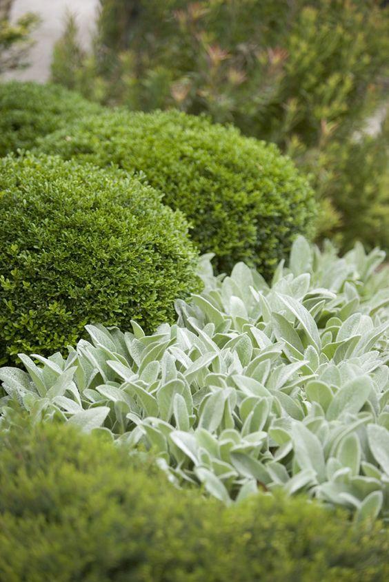 Zahrada - inspirace - čistec vlnatý