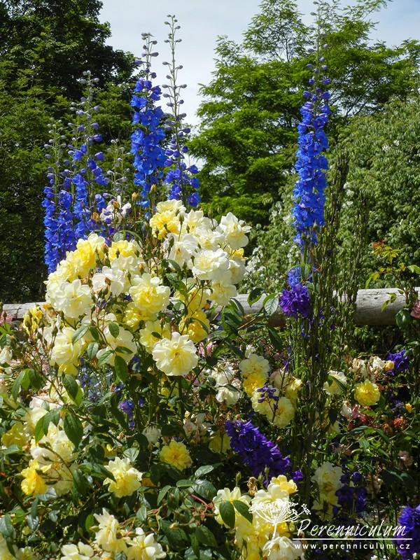 Zahrada - inspirace - růže a ostrožka stračka (delphinium)