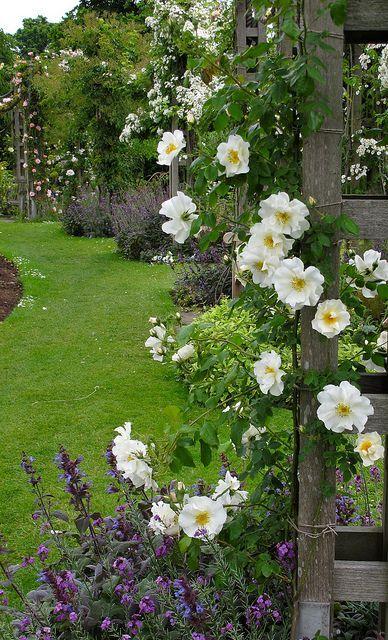 Zahrada - inspirace - růže, dá se použít např. kultivar New Dawn