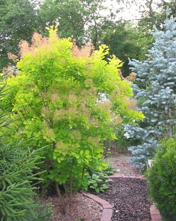 Zahrada - inspirace - Ruj vlasatá Golden Spirit