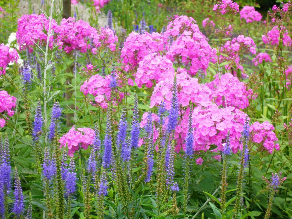 Zahrada - inspirace - vysoké floxy a rozrazil