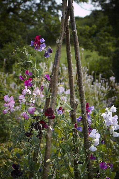 Zahrada - inspirace - hrachor vonný - velmi oblíbená letnička v Anglii