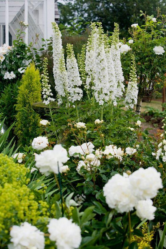 Zahrada - inspirace - v levém dolním rohu vykukují žluté květy kontryhelu měkkého, vedle něj bílá pivoňka a vysoká bílá ostrožka stračka, vzadu bílé stromkové růže