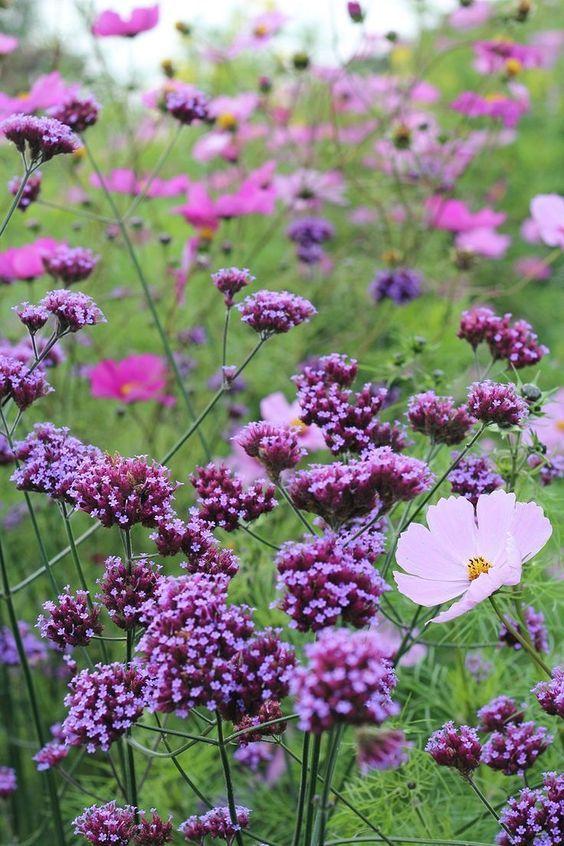 Zahrada - inspirace - sporýš argentinský a krásenka; sporýš se dokáže udržet na zahradě samovýsevem, celá rostlina u nás nepřezimuje, stejně tak krásenka