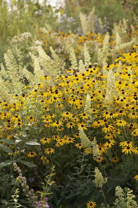 Zahrada - inspirace - rudbeckia a dlužicha (heuchera villosa Autumn Bride)