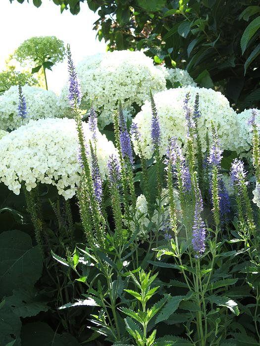 Zahrada - inspirace - hortenzie a rozrazil