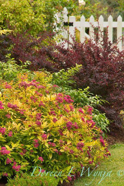 Zahrada - inspirace - vpředu tavolník, tipuju na goldflame, vzadu dřišťál Thunbergův