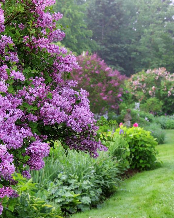 Zahrada - inspirace - šeříky