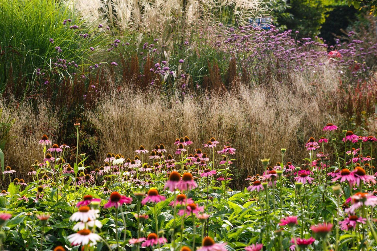 Zahrada - inspirace - třapatky a třapatovky, vzadu fialová vysoká kytka sporýš argentinský (Verbena bonariensis), letnička, ale dokáže se udržet samovýsevem