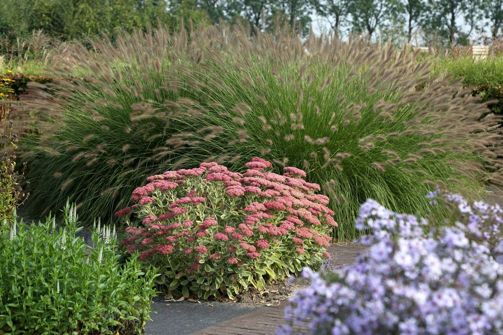 Zahrada - inspirace - modrá hvězdnice vpravo dole, bílý rozrazil, červený rozchodník a oooobří dochany