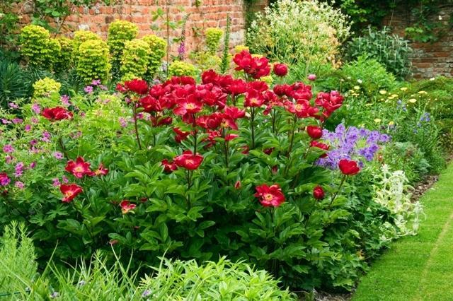 Zahrada - inspirace - Nádherná pivoňka, vzadu za ní by měl být pryšec hnědokvětý (Euphorbia characias)