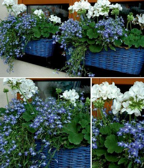 Co do truhlíku - inspirace - ikdyž modrou moc nemusím, tato kombinace i s truhlíky mě opravdu zaujala - bílé muškáty a k tomu modré lobelky