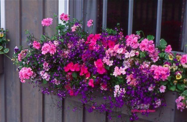 Co do truhlíku - inspirace - nádherná tmavěfialová barva lobelky, převislé muškáty v odstínech růžové a vidím tam vykukovat i macešky ... nejspíš i moud Forsterův (molice)
