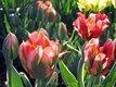 Tulipány Vlastný Mix,