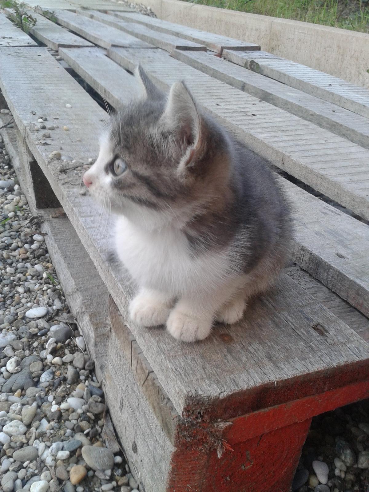 """SOS. Potrebovali by sme súrne niekomu """"posunúť"""" Tigrinku. Zostala ako jediná zo štyroch mačiatok. Mama ich prednedávnom odsťahovala. Nevedeli sme prečo. Zmizla teda mama Mila so 4 mačiatkami. Mila občas prišla. Raz ju manželka vymákla a kukla kam odsťahovala malé. Neskôr zmizla aj Mila aj všetky mačiatka. Predvčerom sa dve mačiatka objavili. Tak sme o ne postarali. Mali 1 a pol mesiaca. Dnes k nám zavítal obrovský bulteriér a jedno mačiatko roztrhal. Tigrinka je teda asi jediná čo prežila. Nemáme odvahu ju tu teraz nechať. - Obrázok č. 2"""