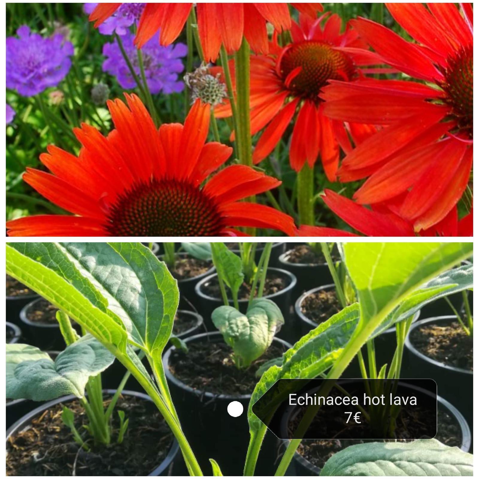 Echinacea - extra kultivary, viac druhov - Obrázok č. 1