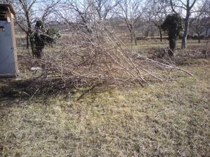 5.3.2012 stromom po trojrocnom divokom rozraste sme nahodili jarny strih