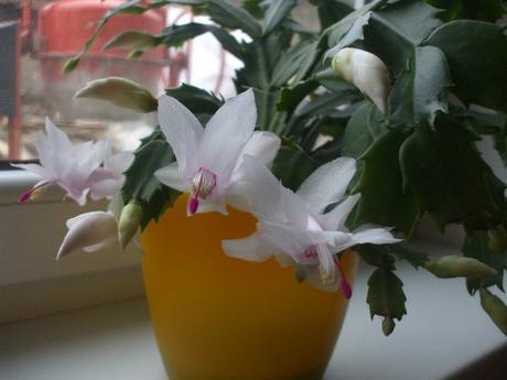 Vianočný kaktus biely s ružovým vnútrom - Obrázok č. 1
