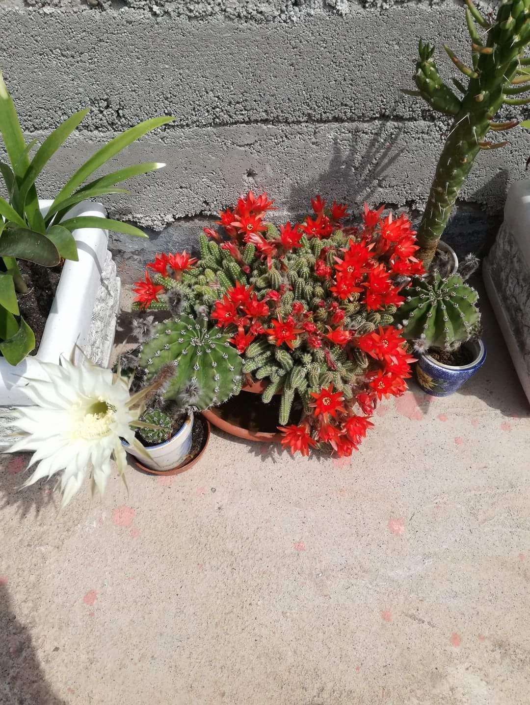 Echinopsis-biely - Obrázok č. 1
