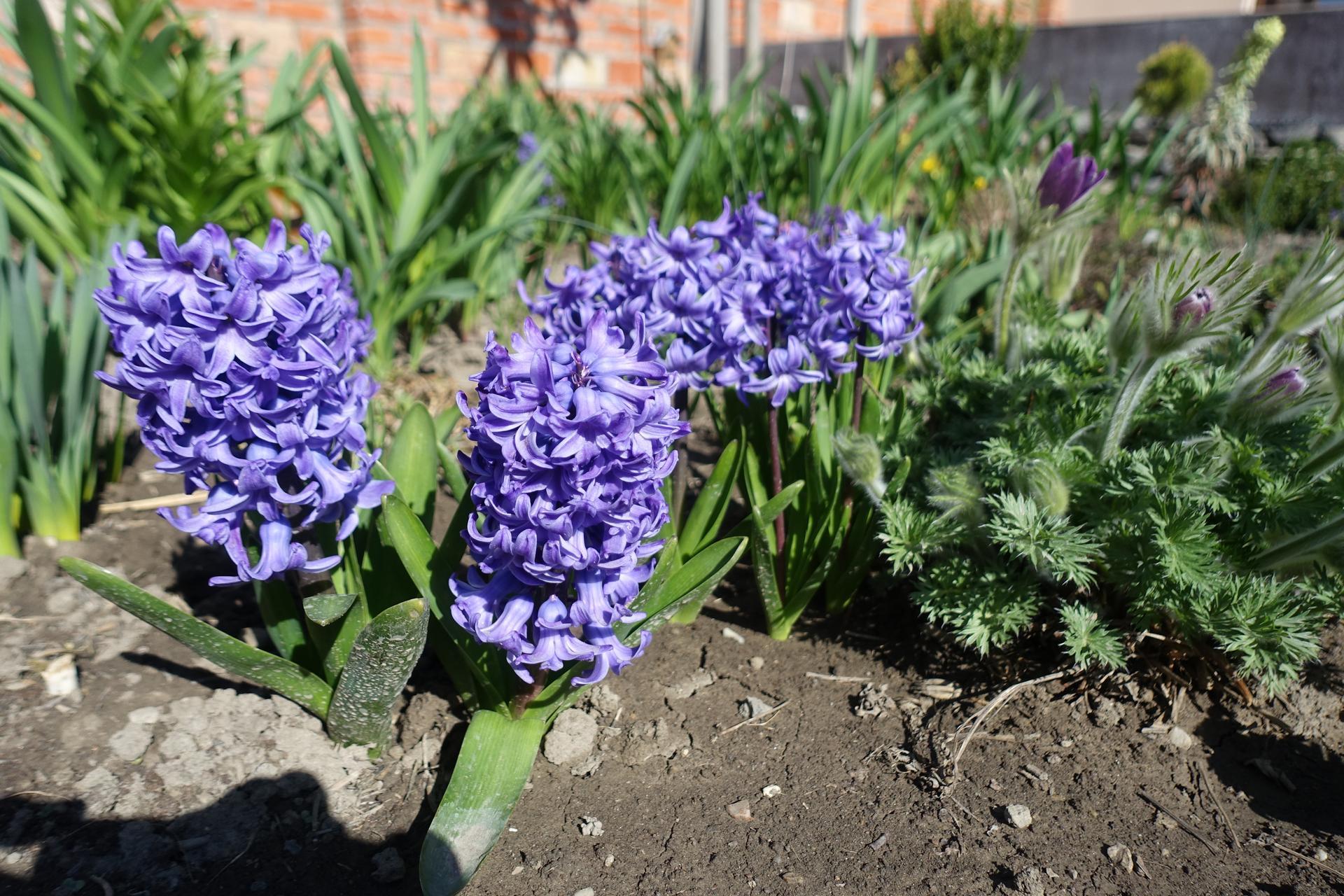 Vonku je lepšie ako vnútri 2021 - Fialové hyacinty a poniklec