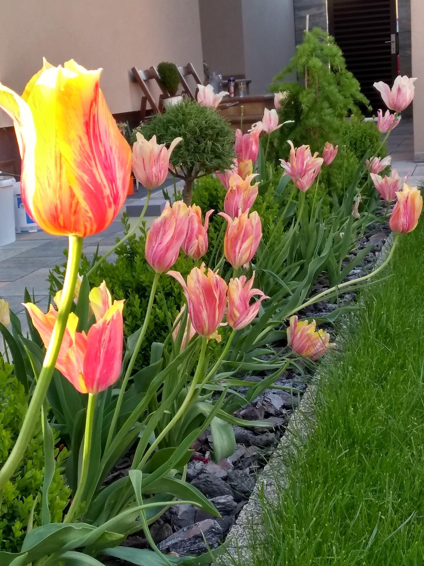 Vonku je lepšie ako vnútri 2021 - Moje najstaršie tulipány, rozmnožili sa po celej záhrade