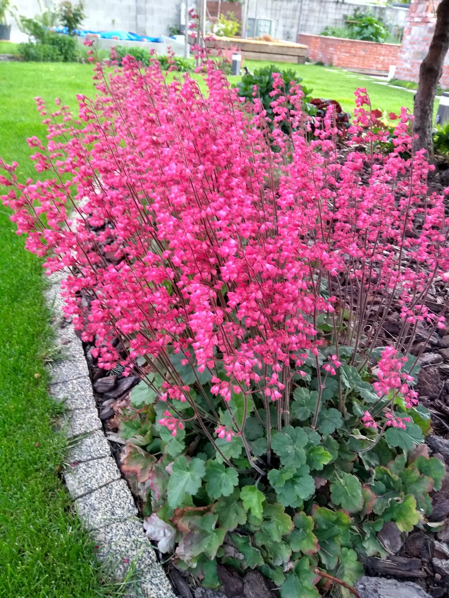 Vonku je lepšie ako vnútri 2021 - Heuchery - typické májové kvety si dali dosť načas