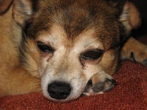 Pes, nejlepší přítel...proč se dožívají tak málo?