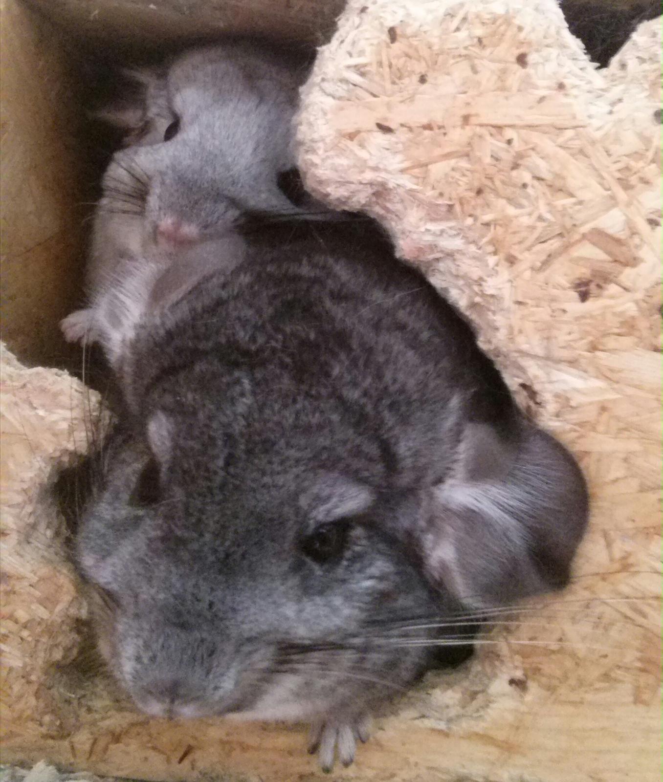 A toto je moje zvěř :-) - Fufík šedivý a Fufinka stříbrná