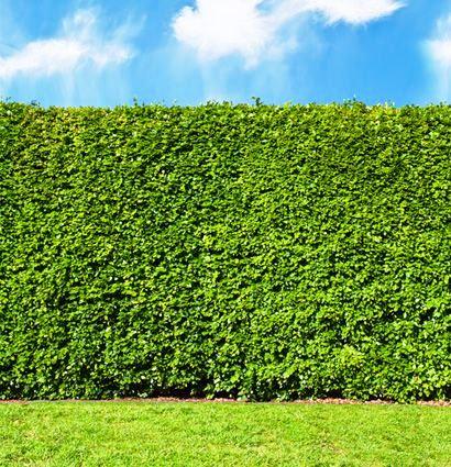 Sadenice Buka lesného na živý plot - Obrázok č. 1