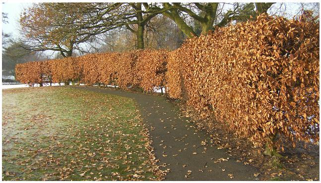 Sadenice Buka lesného na živý plot - Obrázok č. 4
