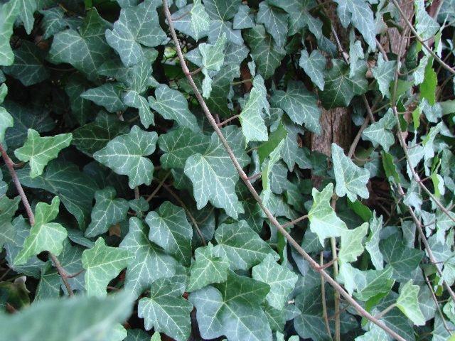 brectan mrazuvzdorny - Obrázok č. 1
