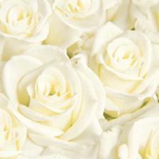 všude budou bílé růže