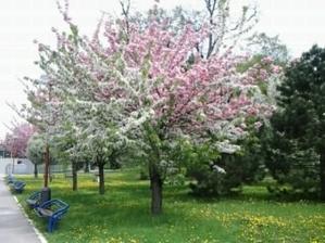tento strom som musela tu ukázať, kvitol na bielo aj ružovo, bolo to prekrásne