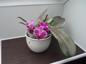 Od té doby, co ji mám na okně v koupelně, tak pořád kvete.
