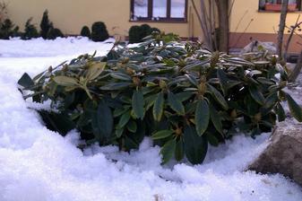 aj u nas uz ide jar - rododendron vykukol zo snehu
