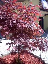 javor červený na terase